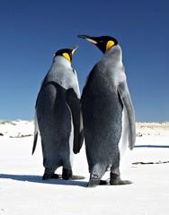 King Penguins at Volunteer Point