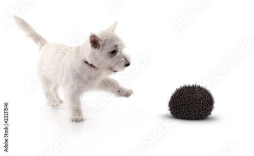 terrier playing with  3d hedge hog