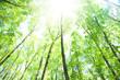 obraz - ブナの森林