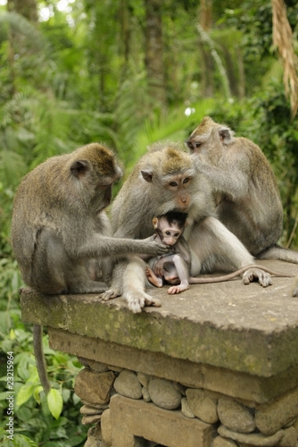 Family of monkeys on island Bali