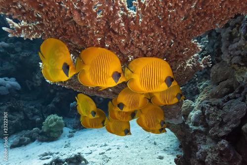 Ławica ryb motyla pod stół korali