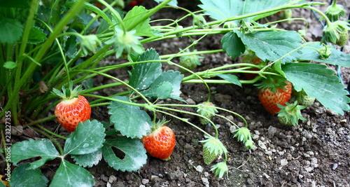 Fraisier plante de patryssia photo libre de droits 23227355 sur - Quel fraisier choisir ...