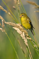American Goldfinch (Female Summer Plumage)