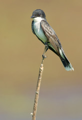 Eastern Kingbird Perched