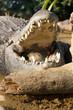 machoire de crocodile mâle