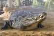 crocodile sous une averse