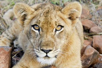 Leone nel parco Chobe