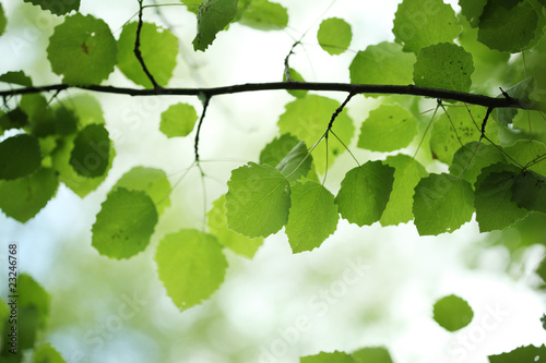 zielone-liscie-brzozy