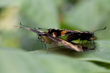 farfalle in amore