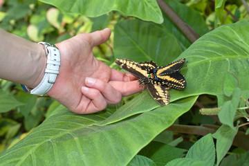 carezare le farfalle