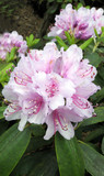 Rhododendron in Blossoming