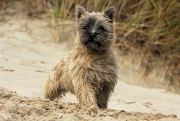 cairn terrier splendide sur la plage