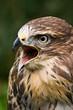 Screaming buzzard