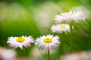Spring flowers, marguerites in a green meadow