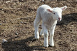 Sweet little baby Lamb in spring
