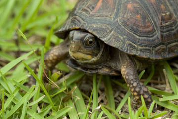 Small turtle peeking out from his shell and walking in the grass
