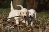 Fototapety deux chiots golden retrievers jouant avec un bout de bois