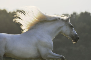 white horse run gallop in sunset