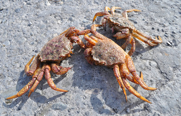 Kamchatkas king crabs