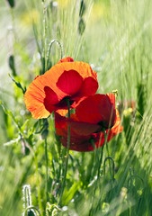 beautiful colorful poppy flowers on meadow