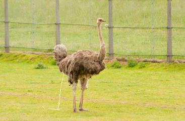 Urinating ostrich