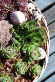 Alpinum (sempervivum)