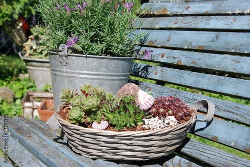 Alpinum (sempervivum) Lavendel