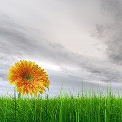 High resolution yellow flower in green grass with gray sky