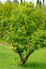 le citronier