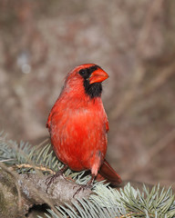 male cardinal on the lookout