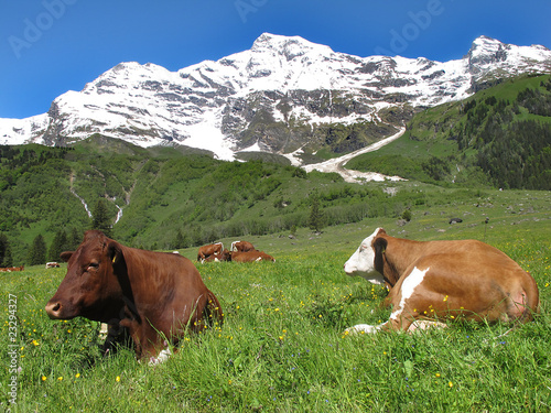 Vieh auf der Alm - cattle on the mountain pasture