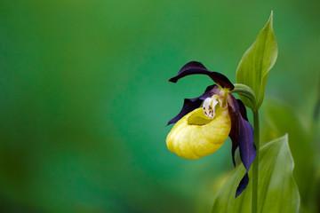 lady's-slipper orchid, Cypripedium calceolus 05