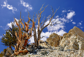 Bristlecone Pine in the White Mountains