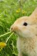 Cute Baby Rabbit Eating Dandelion