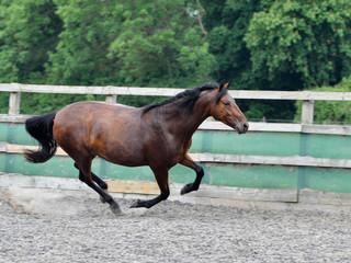 Brown Horse XXXI