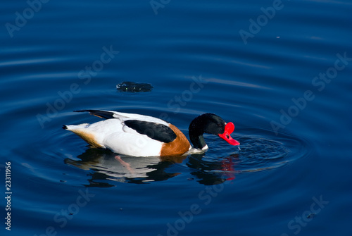 Male shelduck in mating dress