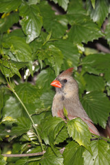 female cardinal takes a peek