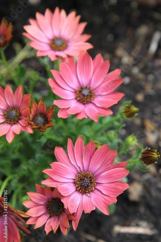 Osteospermum - Marguerite du Cap