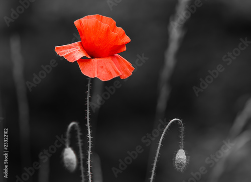 Coquelicot dé-saturation