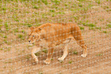Captive Lioness poster