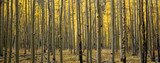 Panoramic Aspen Forest in Fall
