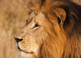 Male Lion With Scars Close-up poster