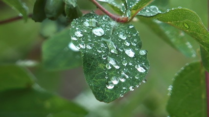 Rain drops on green leaf of a bush.