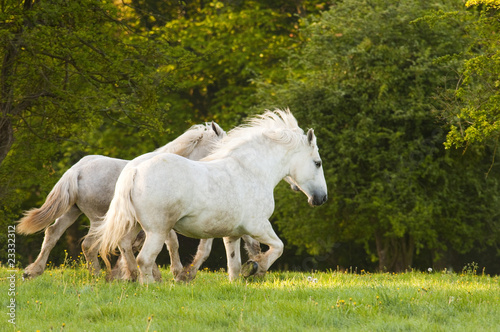 klacz-y-boulogne-s-galloping-in-pasture