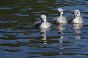 Cygnets swimming