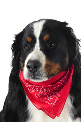 dog with a red handkerchief