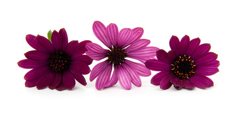 Three purple daisy flowers over white background