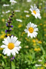 Margeritenwiese - Flower Meadow