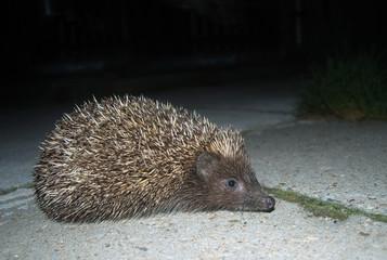 European hedgehog, Budapest, Hungary