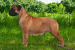 Big Dog on Grass Background
